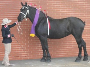 Percheron - Belle View Joy at the Sydney Royal Easter Show 2014